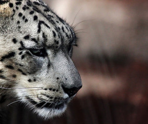 animal, photography, and leopard image