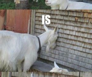goat, funny, and awesome image