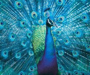 blue, peacock, and animal image