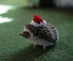 cute, hedgehog, and christmas image