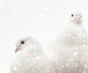 Doves, snow, and winter image