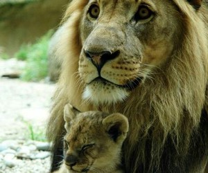 cub and lion image