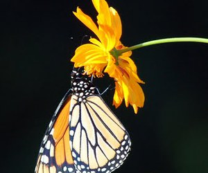 beauty, monarch, and butterfly image