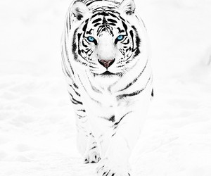 tiger, white, and snow image