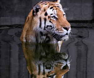 tiger, animal, and tigers image