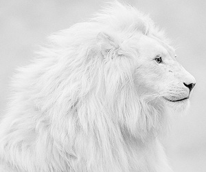 beautiful, white, and lion image