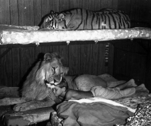 child, lion, and tiger image