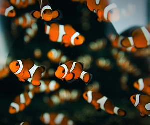fish, nemo, and orange image