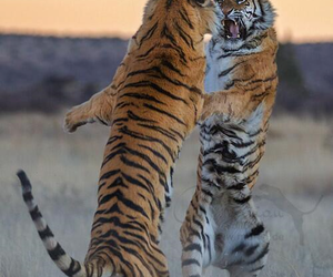 tiger, animal, and fight image