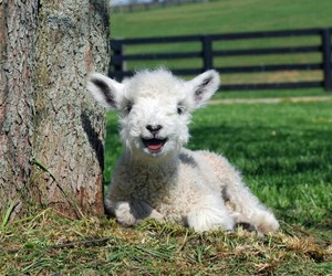 cute, animal, and lamb image