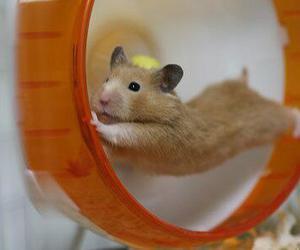 animal, funny, and hamster image