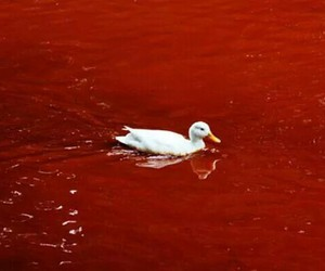 red, duck, and blood image