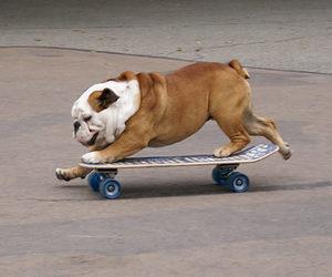 dog, bulldog, and skate image