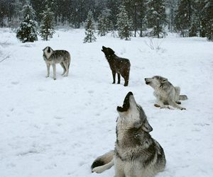 wolf, animal, and snow image