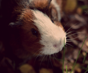autumn, guinea pig, and adorable image