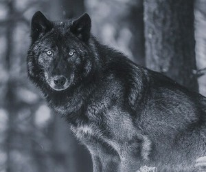 wolf, black wolf, and black image