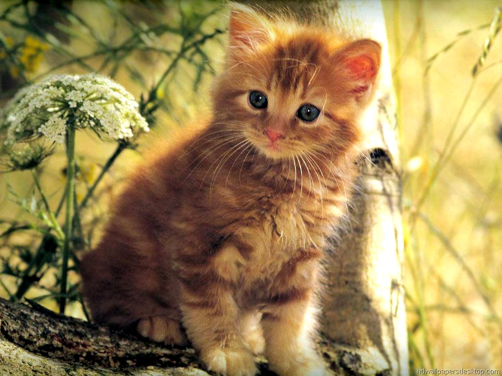 Cat Wallpaper, Kitten Wallpaper, Picture, Desktop Backgrounds, 1024x768, 500