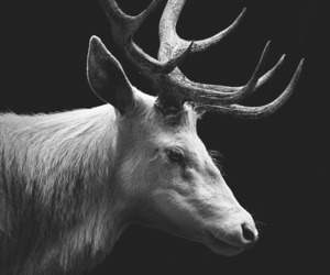 deer, animal, and black and white image