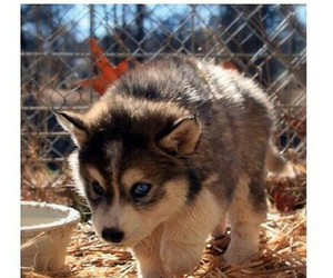 husky, lol, and puppy image