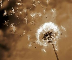 flower, dandelion, and nature image