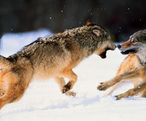 wolf, animal, and fighting image