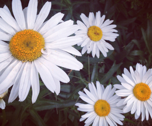 beautiful, bloom, and daisy image
