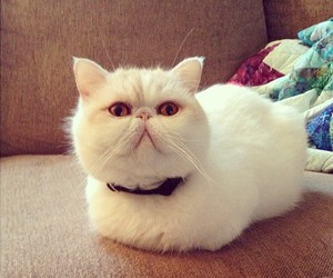 beige, cat, and exotic shorthair image
