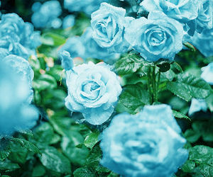 flowers, rose, and blue image