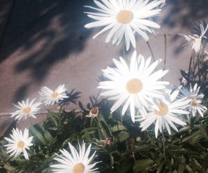 daisies, daisy, and summer image