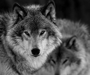animals, wolves, and black and white image