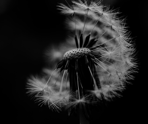 black and white, varnuak, and wish flower image