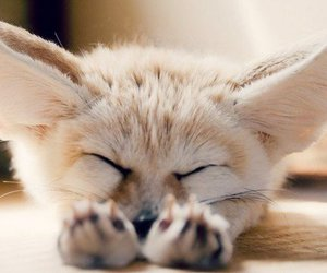 cute, animal, and fox image