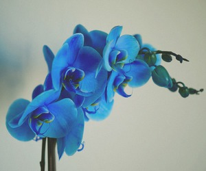 blue, blue orchid, and flower image