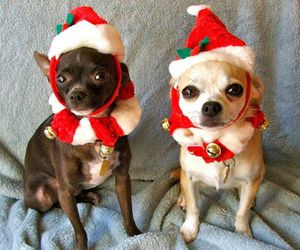 chihuahua, christmas, and cute animals image