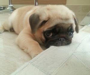 carlin, cute, and dog image