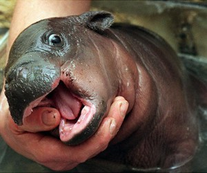 cute, baby, and hippo image