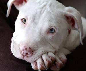 dog, puppy, and pitbull image
