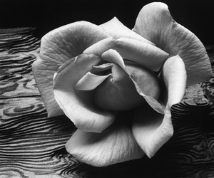 black and white and rose image