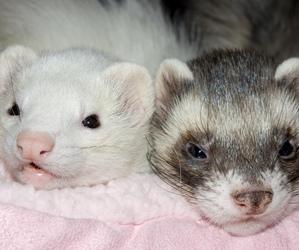 ferret, pets, and stinker image