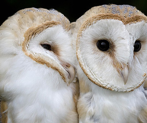 owl, animals, and beautiful image
