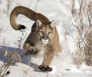 animal, snow, and puma image
