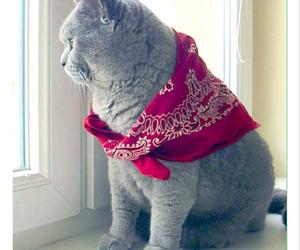 animal, british, and cat image