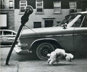 car, poodle, and street image
