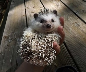 funny and hedgehog image