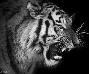 black and white, tiger, and life image