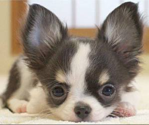 puppy, chihuahua, and dog image