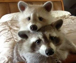 animal, raccoon, and baby image