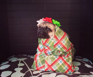 pug, present, and cute image
