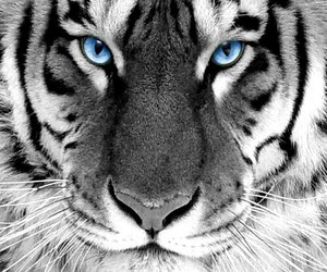 blue eyes tiger image