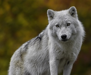 animals, grey wolf, and wild image